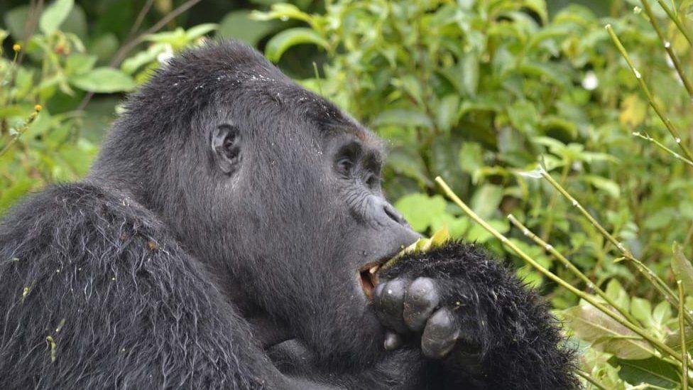 Rafiki, Uganda's rare mountain gorilla slain in June  Photo Source: BBC