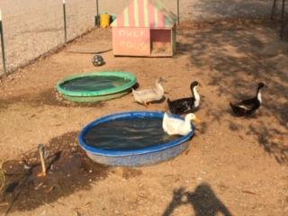 farm ducks.JPG