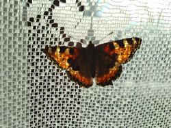 JC-motýl