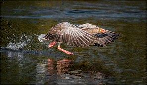 'Graylag Goose' by Brendan Hinds - Highly Commended