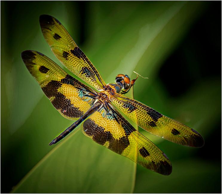 'Veriegated Flutterer' by Brendan Hinds - Commended