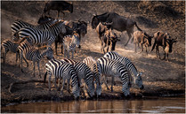 'Plains Zebra and Wildebeest' by Brendan Hinds - Commended