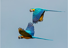 'Blue and Yellow Parrots' by Brendan Hinds - Commended
