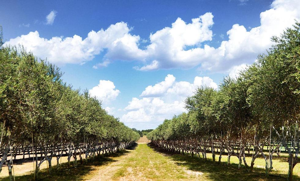 sandy-oaks-olives.jpg