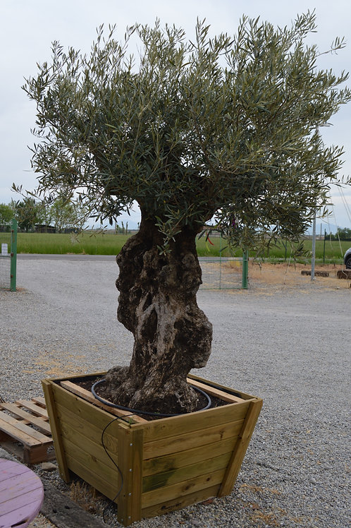 Olea Europea bonsai , cassa legno