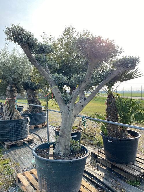 Olea europea bonsai pon pon