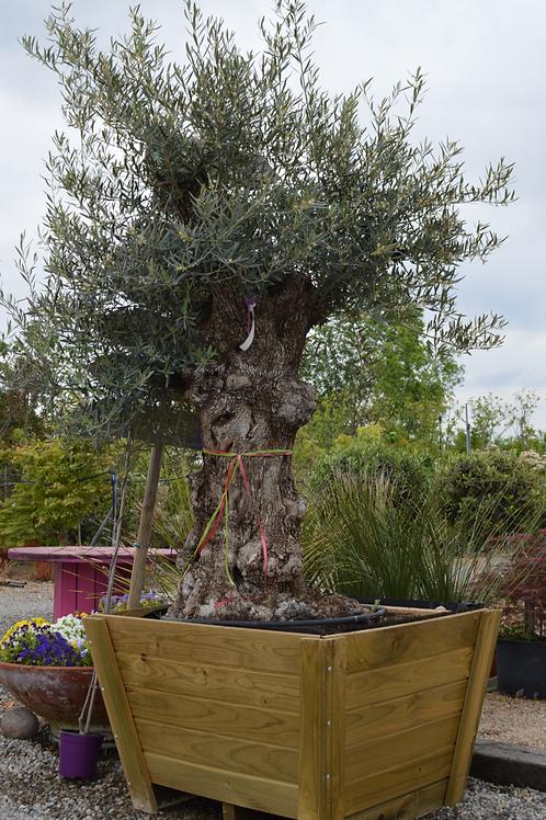 Olea Europea bonsai, cassa legno