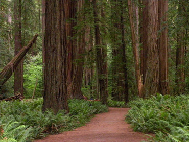 redwoodpath copy 2.jpg
