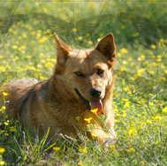 Dog in Buttercups 2
