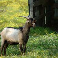 Goat in Meadow
