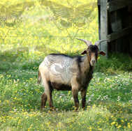 Goat in Meadow Looking at Camera