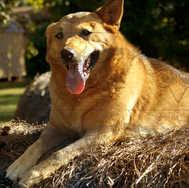 Dog on Bale of Hay 2
