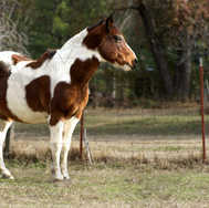 Paint Horse Looking