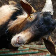 Goat Climbing Fence