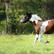 Paint Horse Trotting in Pasture