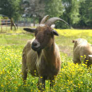 Two Goat in Flowers 2