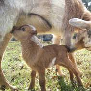 Mama Goat Feeding Baby 1