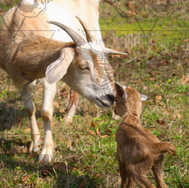 Mom Goat and Kid Kissing