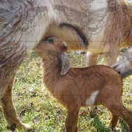 Mama Goats Feeding Baby 2
