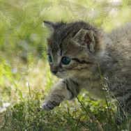 Kitten Walking 2