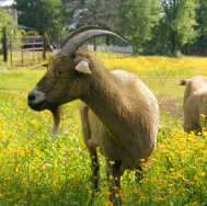 Two Goats In Flowers 1