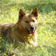 Dog in Buttercups 1