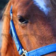Close Up Sorrel 1