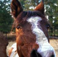 Quarter Horse Looking at Camera2