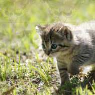 Kitten Walking 3