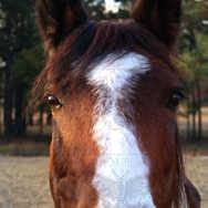 Quarter Horse Looking at Camera1