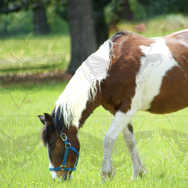 Paint Horse Eating in Meadow
