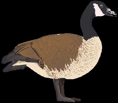 Canadian Goose Vector