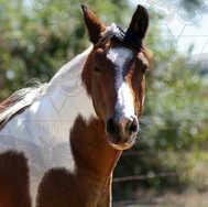 Paint Horse Looking at Camera