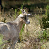 Goat in the Weeds 2