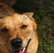 Golden Dog Looking at Camera