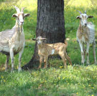 Three Goats1