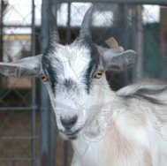 Goat at County Fair