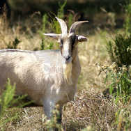 Goat in the Weeds 1