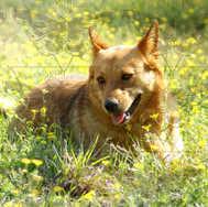 Dog in Buttercups 3