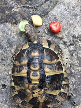 Tortoise's traffic-light snack!
