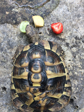 Tortoise's traffic-light snack!