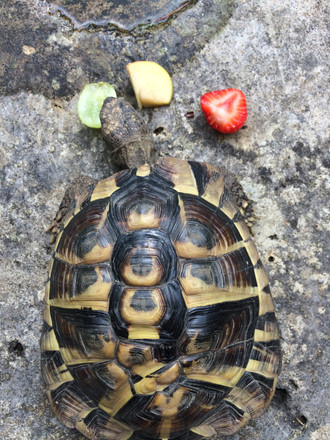 My tortoise Hercules with his traffic-light snack!
