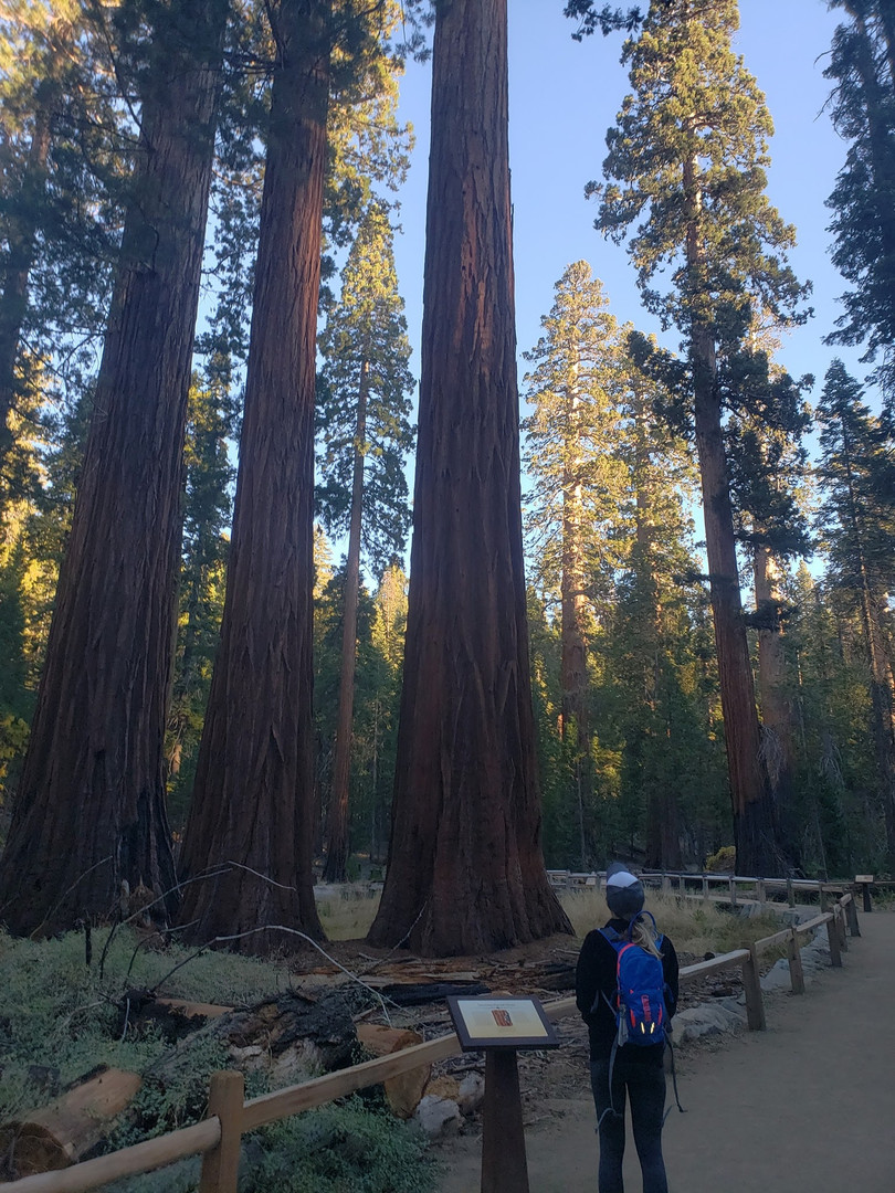 Sequoia Trees Mariposa Grove