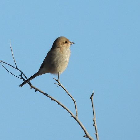 Buffalo Lake's Boisterous Northern Shrike