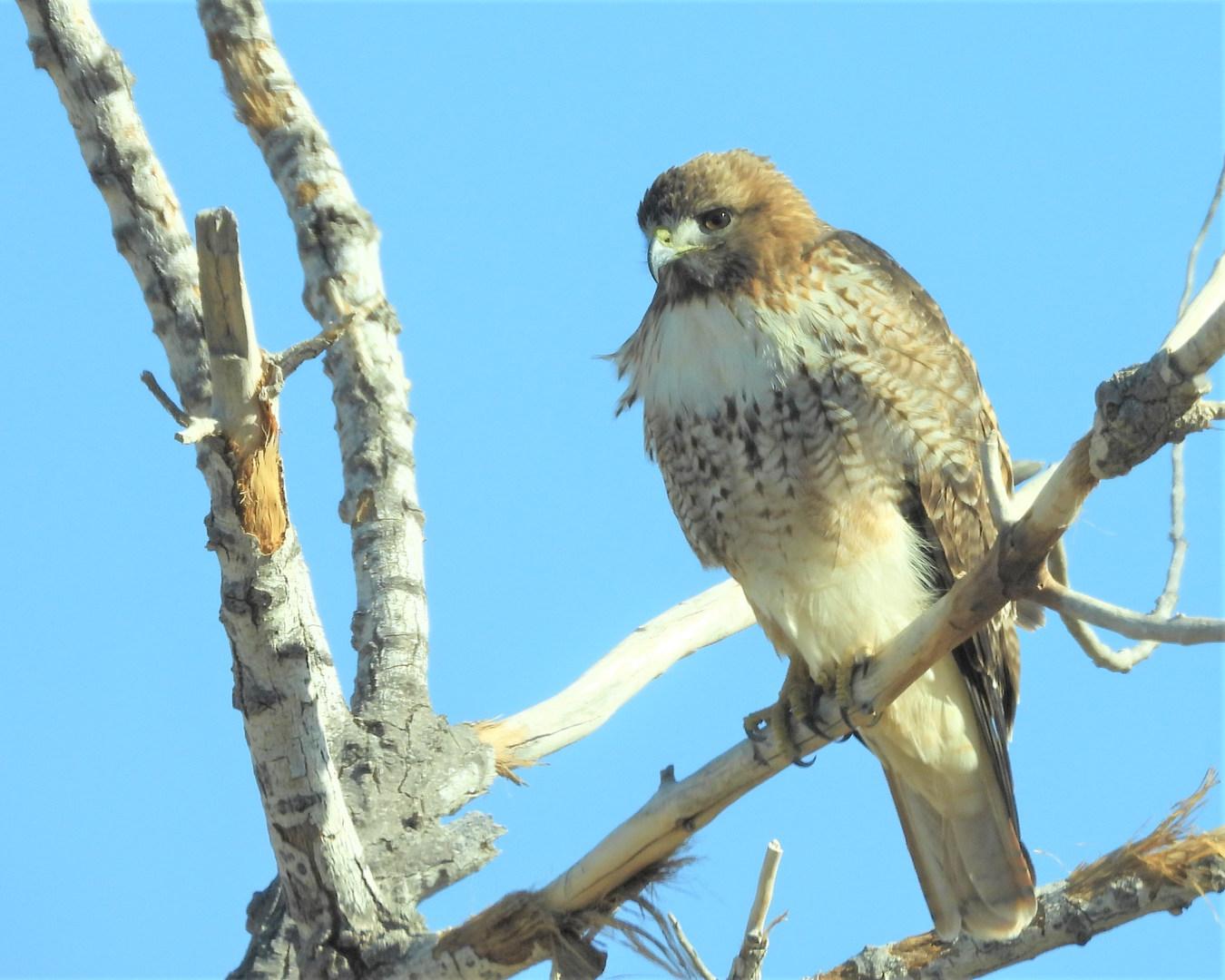 Red-tailed hawk BdA 1-18-20.jpg