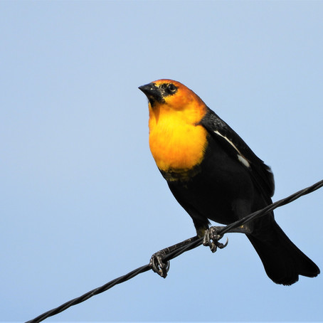 Yellow-Headed Blackbirds By the 100's