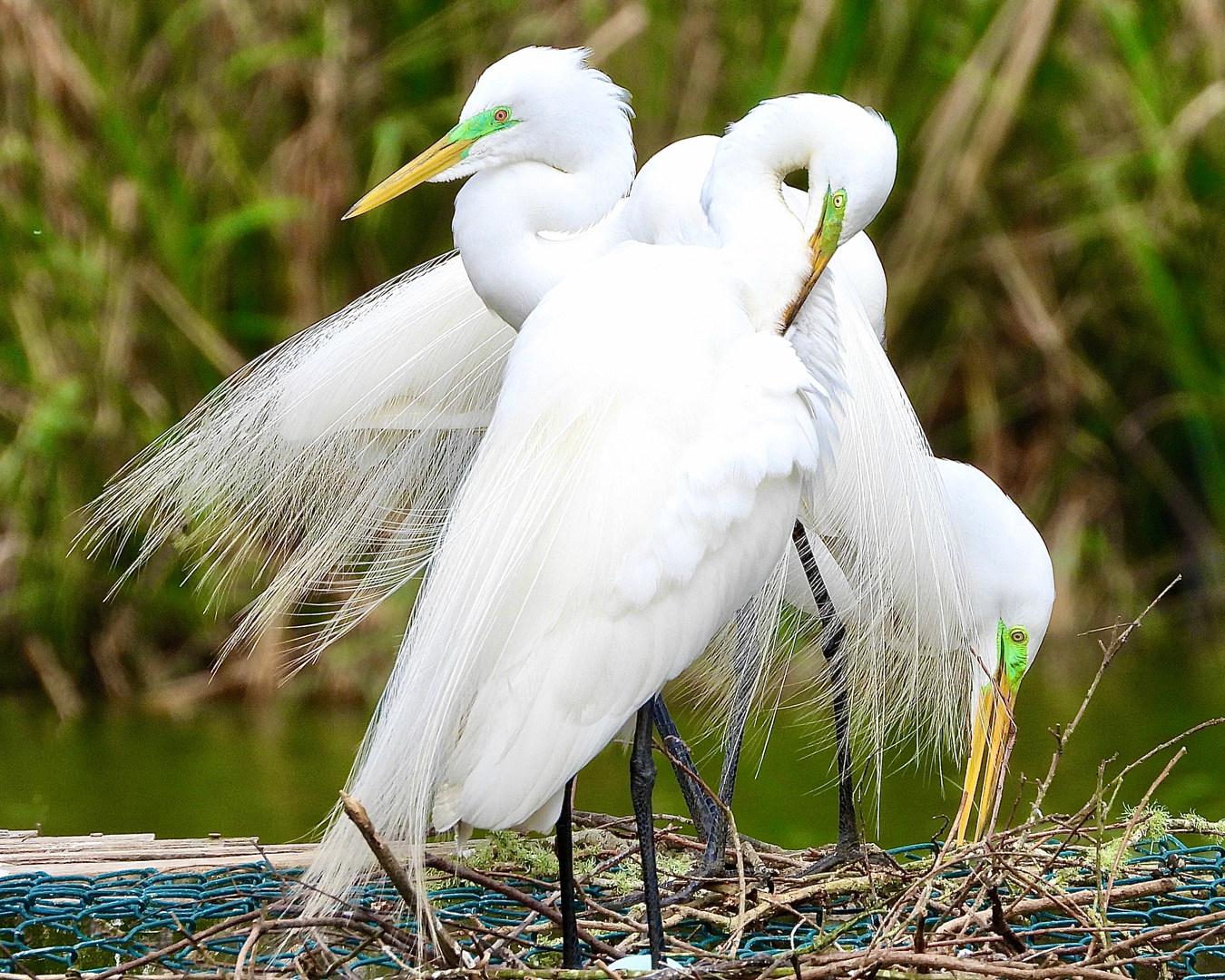 High Island Egrets 3-17-20.jpg