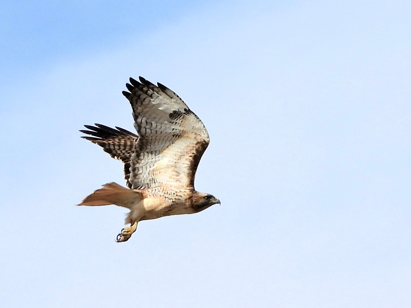 red-tailed hawk in flight mcgee 2 2-16-2