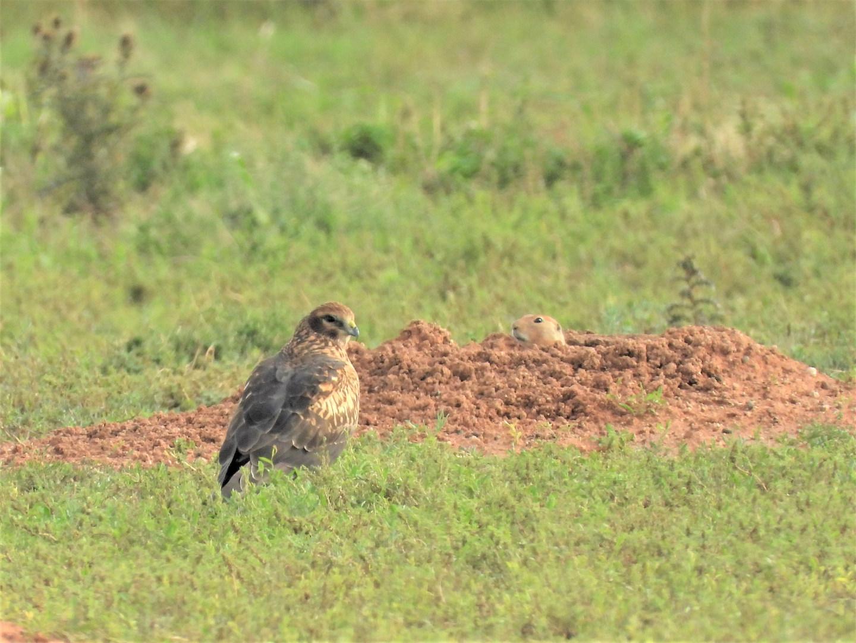 Northern Harrier - Prairie Dog standoff.