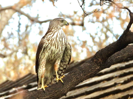 hawk nesting in front yard 4-20-20.jpg